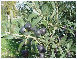 olives_noires1.jpg