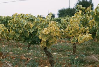Flavescence dorée de la vigne